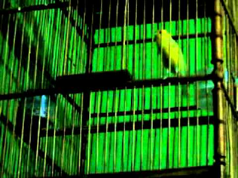 Kicau burung Kenari