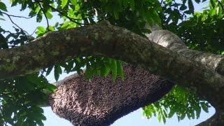 cách bắt ong rừng - Cách bắt ong rừng thông minh vẫn giữ lại tổ ong