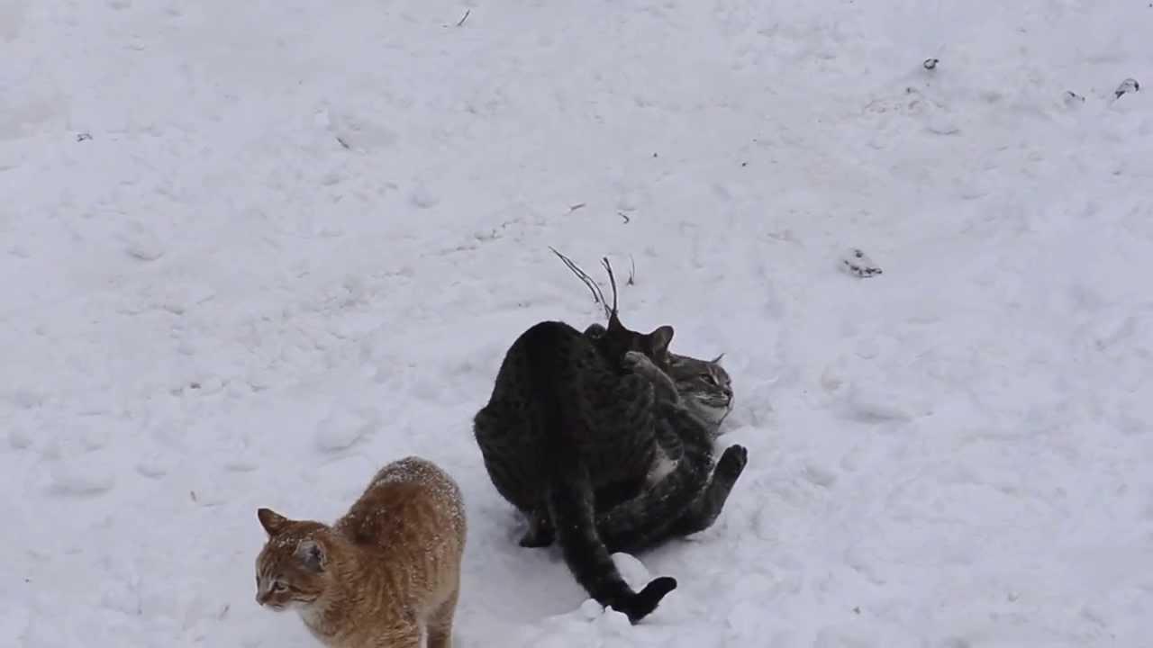 Cats having sex
