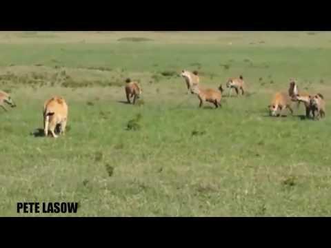 Lion vs Crocodile vs Hyena vs Buffalo - El cocodrilo mata y come Leopard - Wild Animal ataca # 24 |