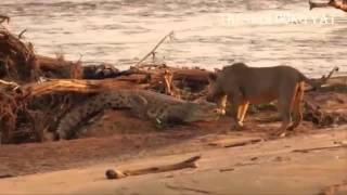 Cá sấu đại chiến sư tử chúa tể đầm lầy thất thế - Thế giới động vật