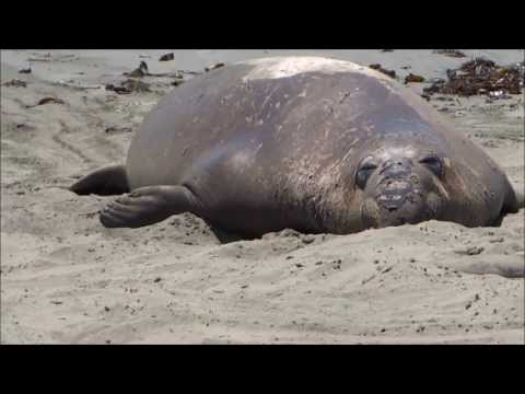 Life's a Beach - Siesta time for Seals and Sea Eliphants