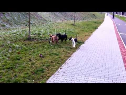 Pitbull ´s vs little Amstaff game