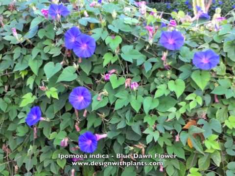 Ipomoea indica - Blue Dawn Flower (Morning Glory) - YouTube