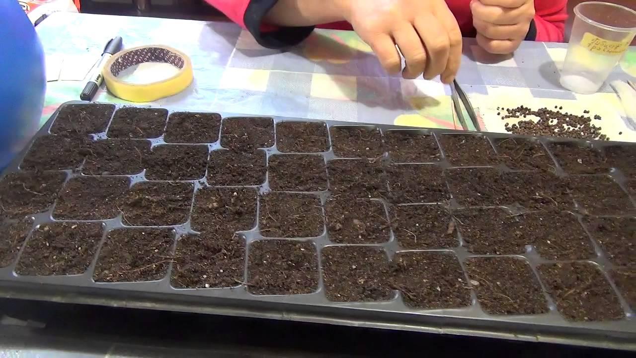 Гибискусы выращивание из семян 81