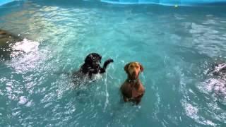 Anjing sang pelatih renang