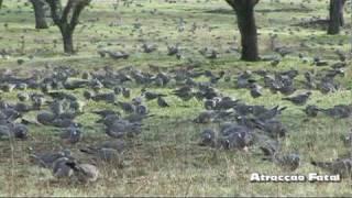 Milhares de Pombos Torcazes