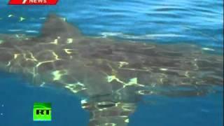 Video Of Shark Terrorizing Fishermen In Australia