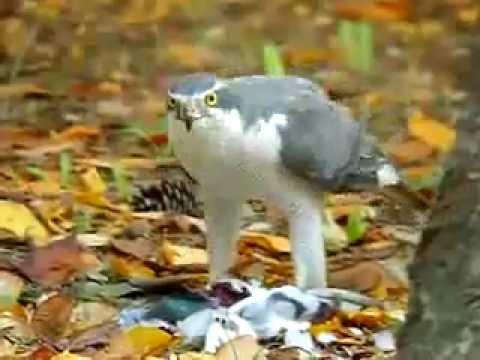 Doğa ve yaban hayatı - atmaca videosu::