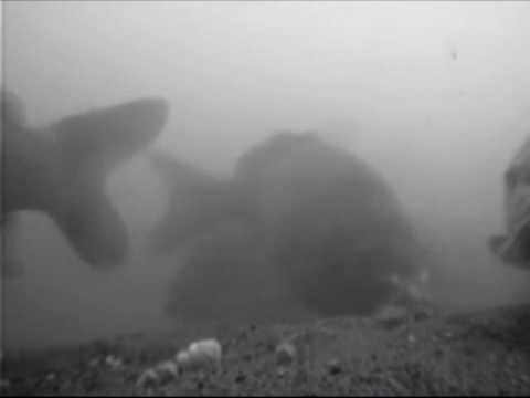 Podvodne zabery kaprov