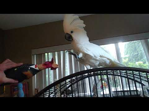 How funny this parrot playing throwing game🤣🤣🤣funny Cockatoo