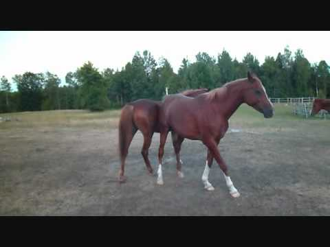 Equine Behaviour..Mare breeds Mare