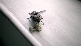 EPIC. Queen Housefly Giving Birth. EWWWWW!!
