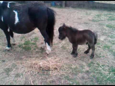 whispers tuff stuff a cute dwarf miniature horse in alma