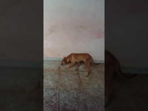 Vídeo Conheça o vídeo do Franklin: o cão que estava amarrado em cima de um formigueiro e hoje é feliz