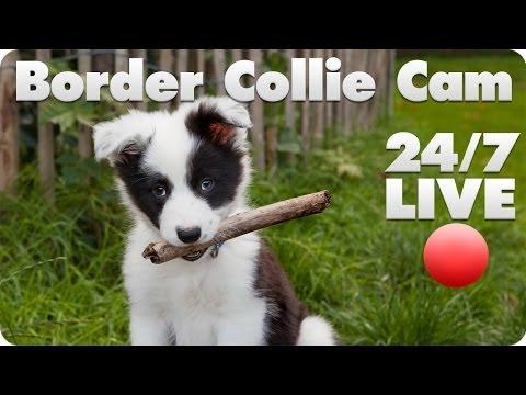 Border Collie Live Cam