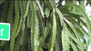 The Dragon Fruit Cactus A Great Edible And Easy To Grow