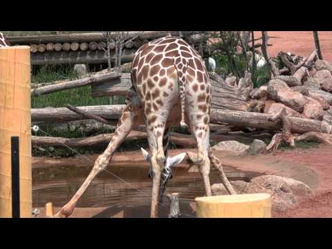 Giraffe Spreading Legs To Get Drink Of Water | Sony FDR AX100 4K