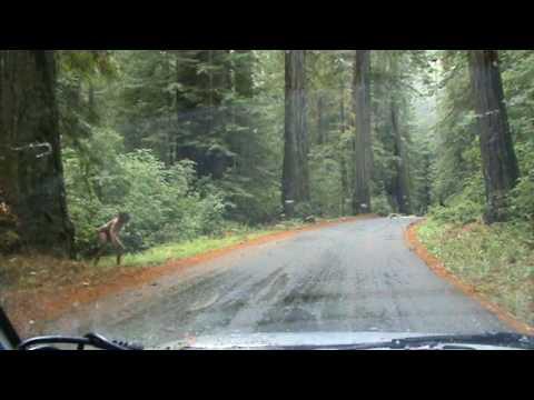 Suchbegriffe für real life bigfoot sighting redwood forest