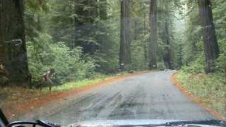 Real Life Bigfoot Sighting, Redwood Forest