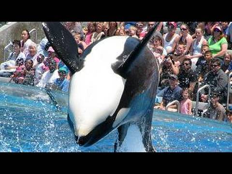 "SeaWorld's old ""Shamu"" show (with trainers in the water!), Become a Facebook SeaWorld fan at: http://www.facebook.com/SeaWorldVideos or download this video in iTunes: http://bit.ly/iTunesSeaWorld This is the previous..."