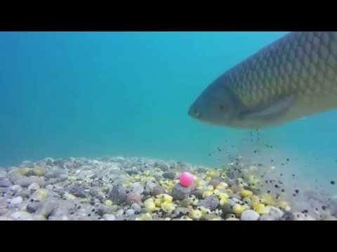 Underwater carp fishing Hofi