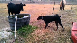 Cerca eléctrica - Perro tonto