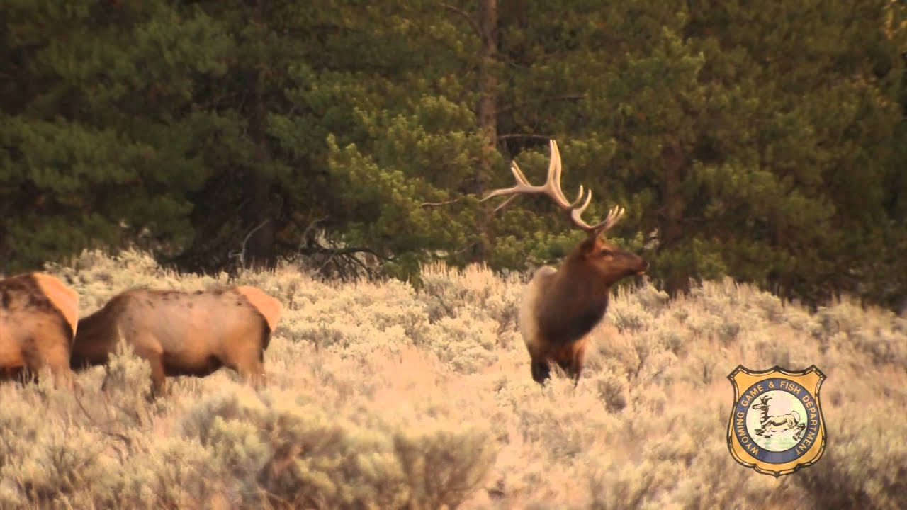 Wyoming elk hunting better than ever youtube for Wyoming game and fish license