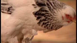 Видео - Выбор кур и правила их кормления