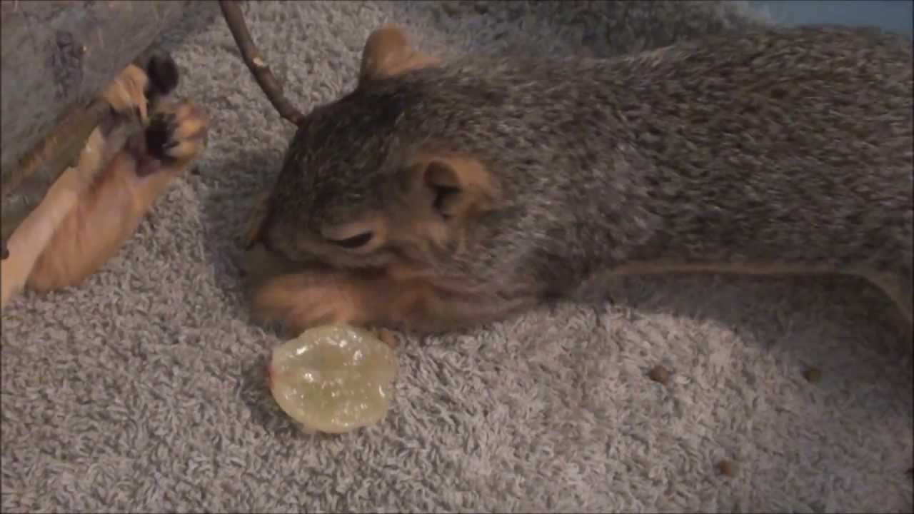 Feeding Baby Squirrels Solid Food