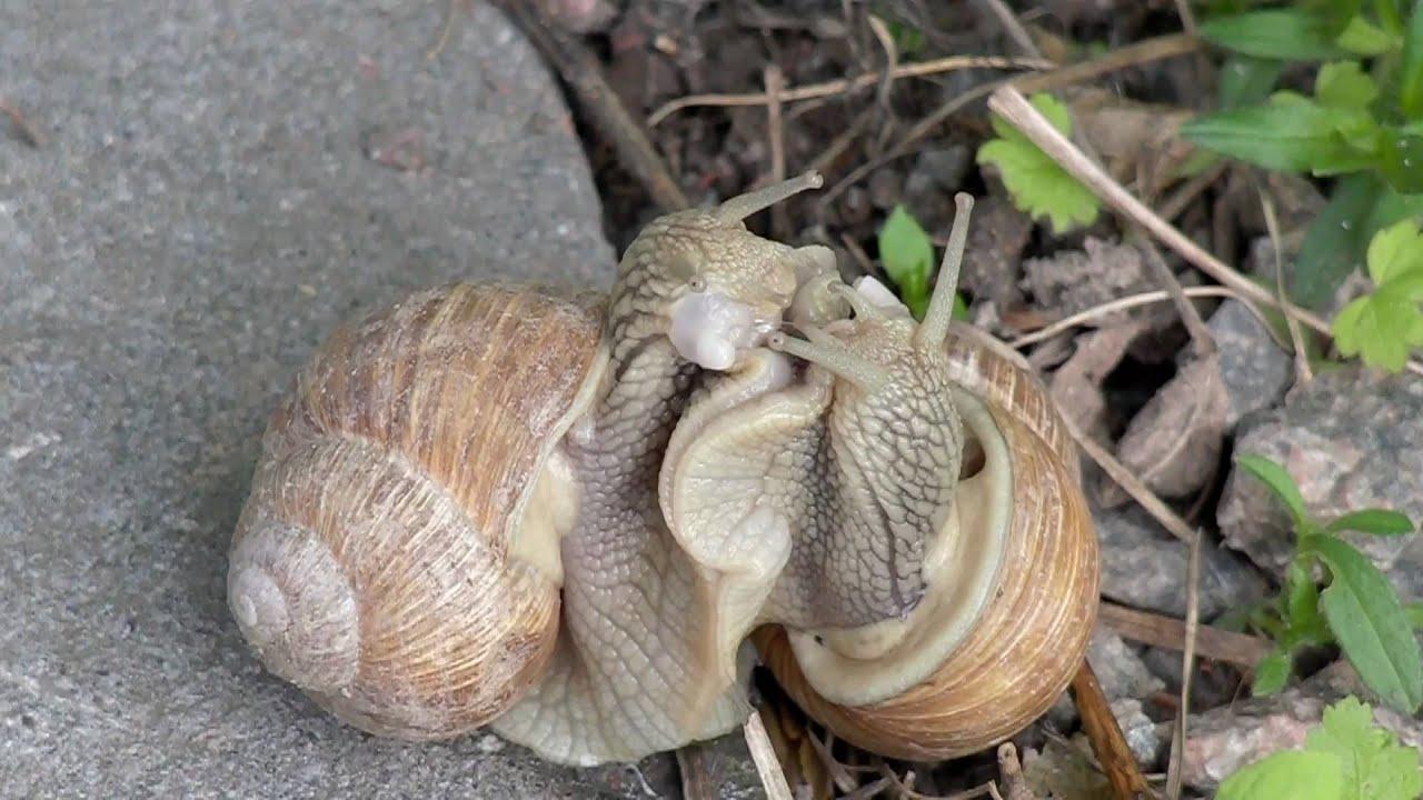 Snail sex coitus interruptus youtube for Coito interruptus