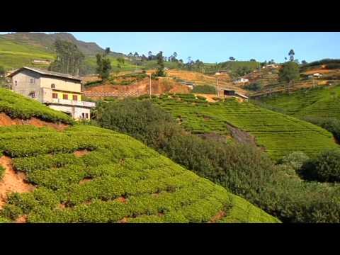 Сатьяван. Цейлонский чай