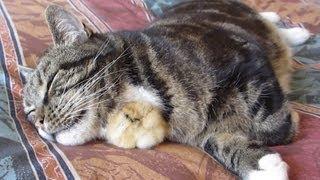 Chick Sleeps Under Cats Chin
