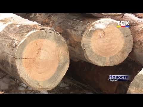 Вся поляна под топор. Кто вырубает лес Бердска и законно ли? – проверяем лично