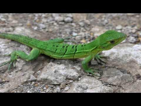 Significado de soñar con lagartijas