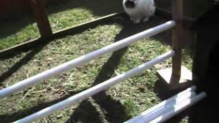 Training Rabbits To Jump Hurdles!