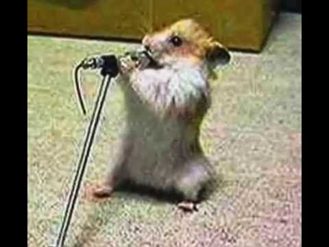 Hamster sings cotten eyed joe