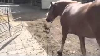 Chihuahua paseando un caballo
