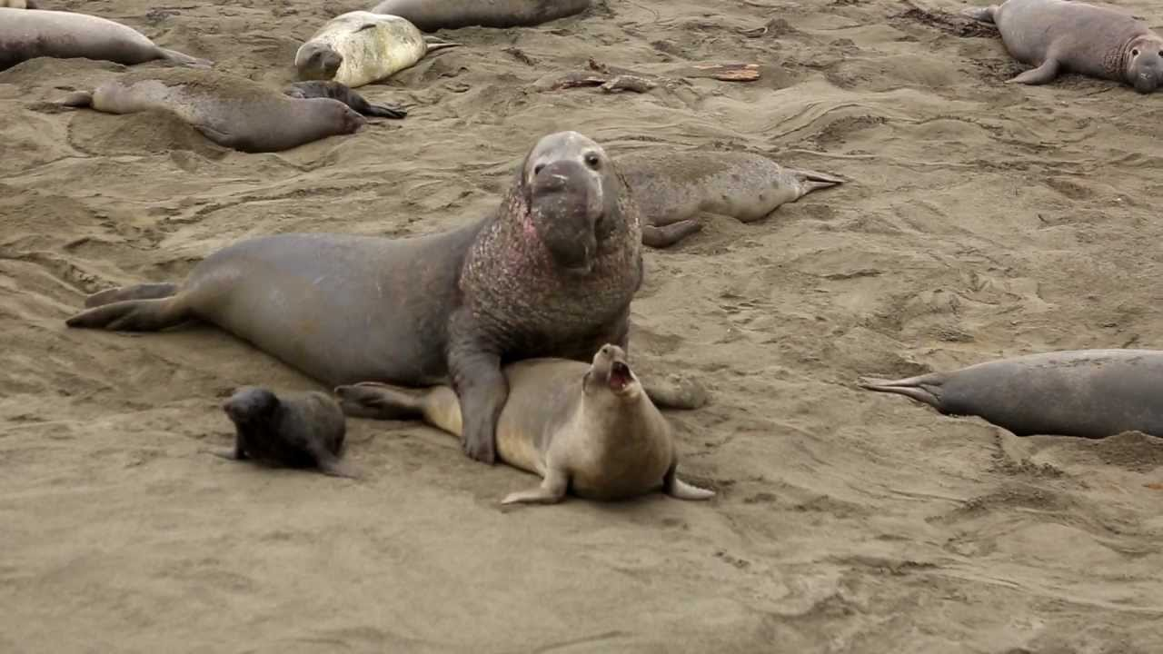 Male Elephant Seal viciously tries to mate/ have sex ...