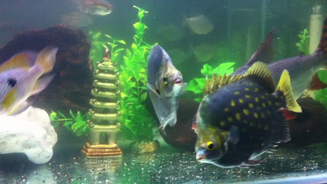 ... largest Flagtail fish with three giant green scats.MOV - YouTube