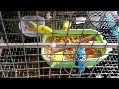 Feeding Budgerigar (proper diet) healthy