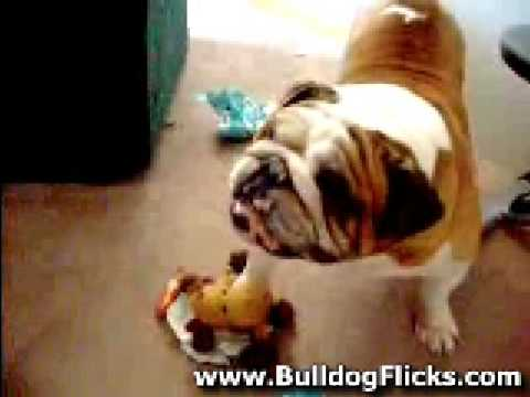 Funny English Bulldog Opening His Birthday Gifts