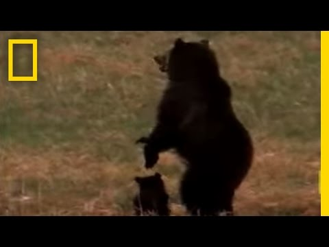 Wolves vs. Grizzly Bears, Grizzly bears and wolves fight for resources in Yellowstone Park. See All National Geographic Videos http://video.nationalgeographic.com/video/?source=4001