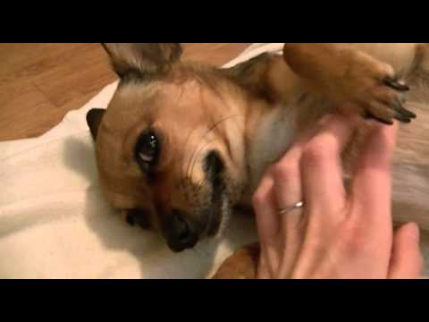 pregnant chihuahua week by week dog breeds picture