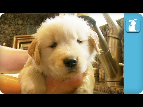 Golden Retriever Puppy Taking A Bath,
