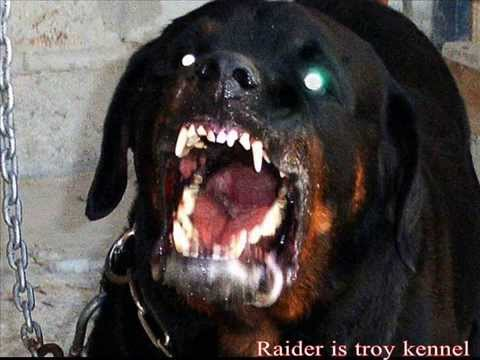 Angry rottweiler dog - photo#19