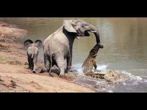 Elephant Vs Crocodile ►►  Crocodile Attacks Elephant At Watering Hole