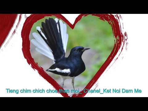 Tiếng chim chích chòe than mồi dùng để bẫy chim và kích chim hót
