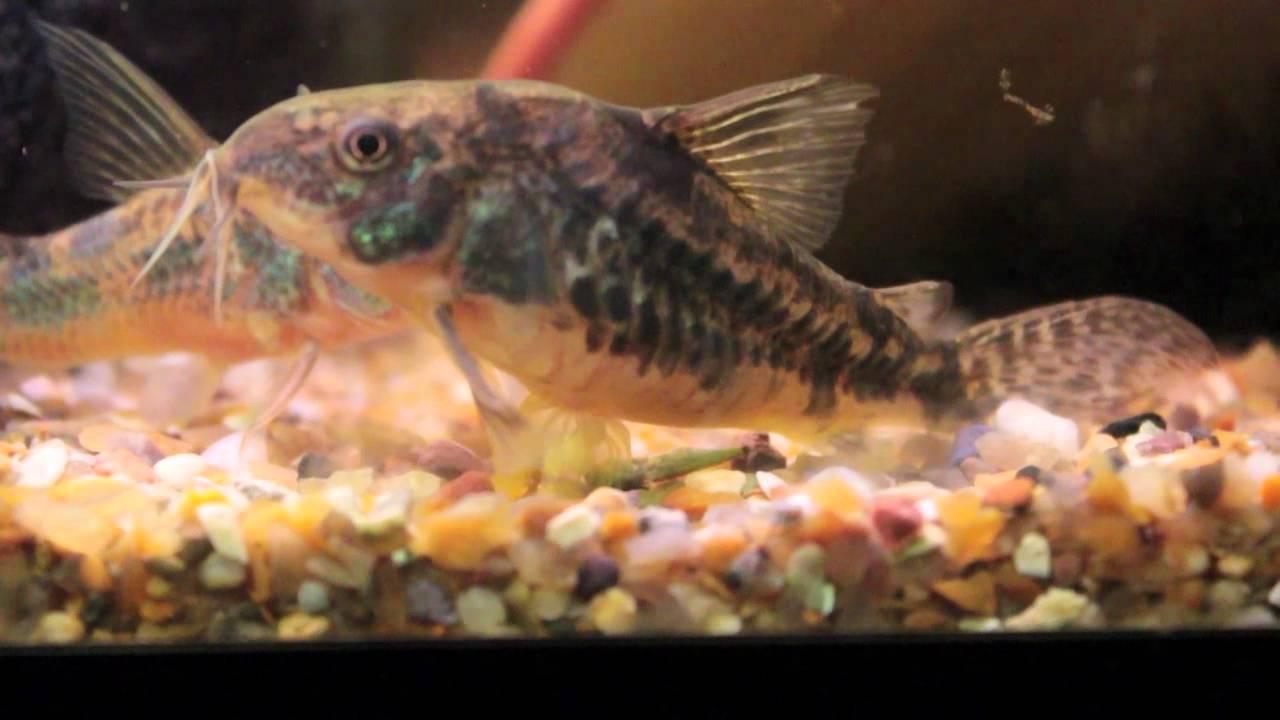 Corydoras catfish youtube for Cory cat fish