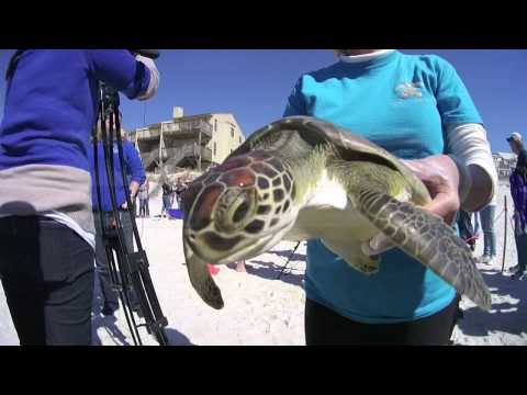 Turtle Release on Cape San Blas